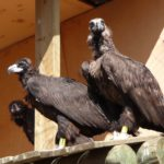 Observació dels 4 voltors al canyet de Boumort: el trencalòs (Gypaetus barbatus), el voltor comú (Gyps fulvus), el voltor negre (Aegypius monachus) i l'aufrany (Neophron percnopterus)