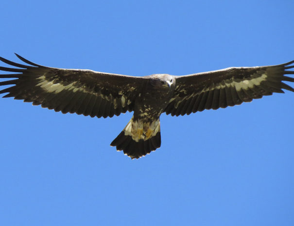 aguila real 2